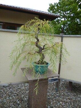 arbre bonsai