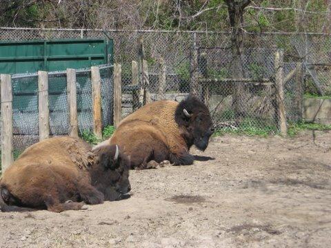 bison quebec