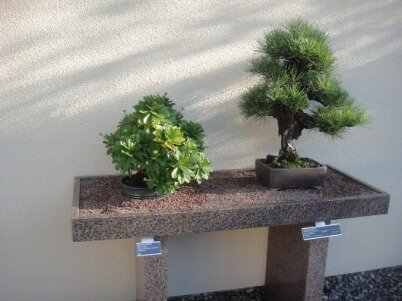 bonsai arbueste