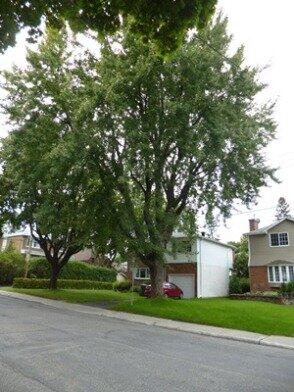 maple tree cardinal street