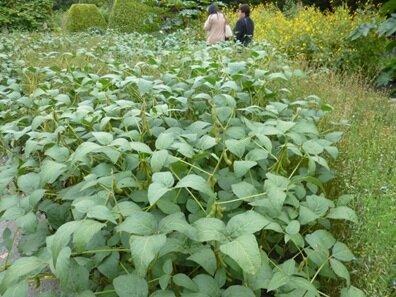 oleagenous plants