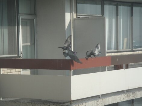 pigeons montreal